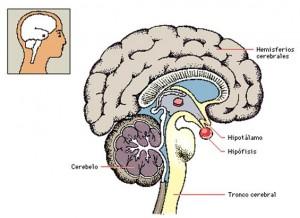 Las funciones de la glándula pituitaria