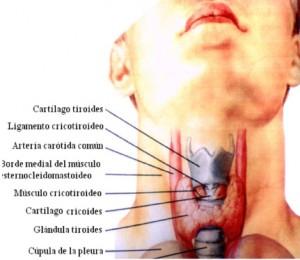 ¿Cuál es la función de la tiroides?